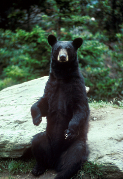 Black Bear Country: Black Bear Sitting Photo Courtesy US FWS Mike Bender, Photographer