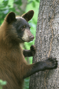 Young Male Blackbear Climbing Tree Courtesy US FWS Steve Maslowski, Photographer
