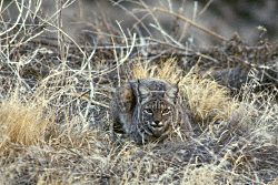Bobcat Public Domain image courtesy US FWS National Conservation Training Center