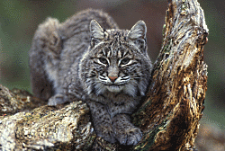 Bobcat Courtesy US FWS Gary Kramer, Photographer