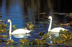 Tundra Swan Pair Cygnus columbianus Courtesy US FWS Tim Bowman, Photographer