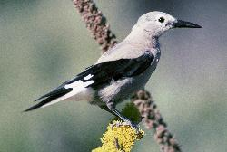 Clark's Nutcracker Courtesy US Fish & Wildlife Service Dave Menke, Photographer