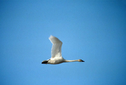 Tundra Swan in Flight Cygnus columbianus Courtesy US FWS Donna A Dewhurst, Photographer