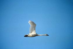 Tundra Swan in Flight Cygnus columbianus Courtesy US FWS Donna A Dewhurst, Photographer