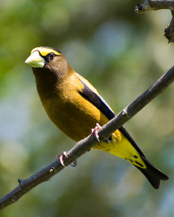 The Christmas Bird Count: Evening Grosbeak Courtesy US FWS George Gentry, Photographer