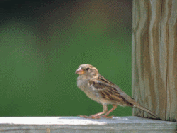 Silence: House Sparrow Courtesy US FWS Thomas Barnes, Photographer