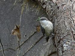 Pygmy nuthatch, Sitta pygmaea, Courtesy US FWS Lee Karney, Photographer