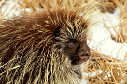 Utah Porcupines: North American Porcupine Erethizon dorsatum Courtesy US FWS Tom Koerner, photographer