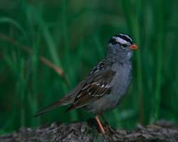 White Crowned Sparrow Zonotrichia leucophrys Courtesy US FWS Gary Kramer, Photographer