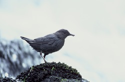 Winter Songs: American Dipper Courtesy US FWS Dave Menke, Photographer