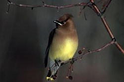 Waxwings and Crossbills Move South: Cedar Waxwing