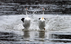 Dancing with the Grebes: Clark's Greebes Courtesy US FWS Dave Menke, Photographer