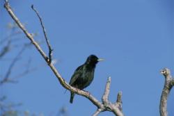 Common Starlings or European Starling, Sturnus vulgaris, Courtesy US FWS, Dave Menke, Photographer