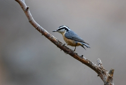 Red Breasted Nuthatch Courtesy US FWS Dave Menke, Photographer