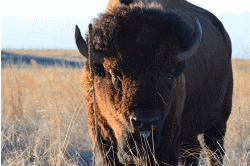 American Bison Courtesy US FWS Ryan Moehring, Photographer
