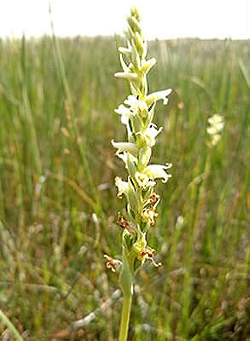 Orchids in Utah: Ute Ladies' Slippers (Spiranthes diluvialis) Courtesy of the U.S. Fish and Wildlife Service, Lindstrom, Photographer