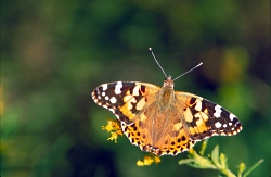 Painted Lady Butterfly, Click to view of a Painted Lady Butterfly, Courtesy US FWS
