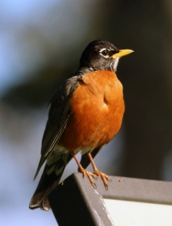Songs of Spring: American Robin Turdis migratorius Finding a high point to sing and be seen Courtesy US FWS Peter Pearsall, Photographer