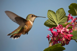 Native Plants for Birds: Female Rufous Hummingbird(Selasphorus rufus) on Red Flowering Current(Ribes sanguineum) Courtesy US FWS, Peter Pearsall, Photographer