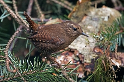 Wren Love: Pacific Wren Courtesy US  FWS Peter Pearshall, Photographer