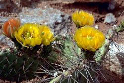 Prickly Pear Cactus, Opuntia ficus-indica