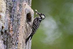 A red-cockaded woodpecker has dinner outside its nesting cavity. Photo by USFWS.