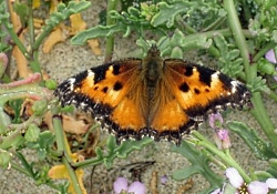 Migration: California Tortoiseshell Butterfly, Nymphalis californica, Courtesy US FWS Salinas River NWS