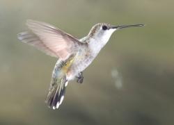 Bird-Friendly Coffee: Black-chinned Hummingbird <i>Archilochus alexandri</i> Courtesy US FWS, Alan Schmierer, Photographer