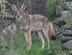 Our Barking Dogs, Coyotes | Coyote, Canis latrans, Courtesy US FWS, Steve Thompson, Photographer