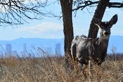 Jack's Urban Deer: Click for a larger view of Mule Deer, Odocoileus hemionus, Courtesy US FWS, Ryan Moehring, Photographer