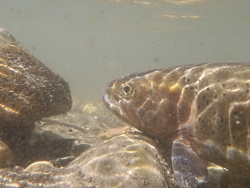 Bonneville Cutthroat Trout Courtesy & Copyright Brad Hansen, Photographer