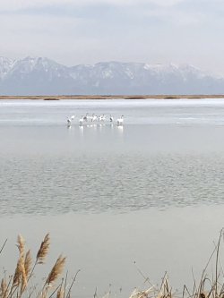 Tundra Swans Courtesy & © Mary Heers