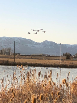 Tundra Swans in Flight Courtesy & © Mary Heers