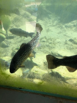 Out Fishing: Hatchery Brood Fish Courtesy & © Mary Heers, Photographer