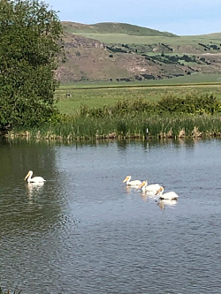 American White Pelicans Fishing at the Bear River Migratory Bird Refuge Courtesy & Copyright © Mary Heers