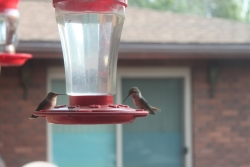 Hummingbirds at Feeder Courtesy and Copyright Ron Hellstern, Photographer