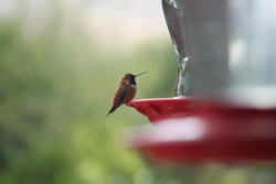 Hummingbird at Feeder Courtesy and Copyright Ron Hellstern, Photographer