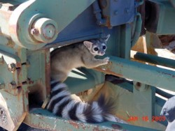Ringtail (Bassariscus astutus), Photo Courtesy US FWS, San Andres NWR