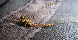 Mayfly Imago Courtesy J Schoen, Photographer Found on VisualHunt.com Licensed through CC BY-SA https://creativecommons.org/licenses/by-sa/2.0/legalcode