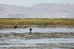 Birds take flight in the Great Salt Lake wetlands Courtesy & © Karin Kettenring