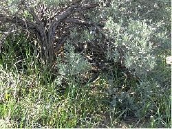 Decreasing Habitat Risks Utah's Southern Sage-Grouse: Hen on a nest. This is what a nest looks like in good habitat. You can see that the brush gives cover from the top and the grass and forbs provide cover from the sides Gourtesy and copyright Nicole Frey, Photographer
