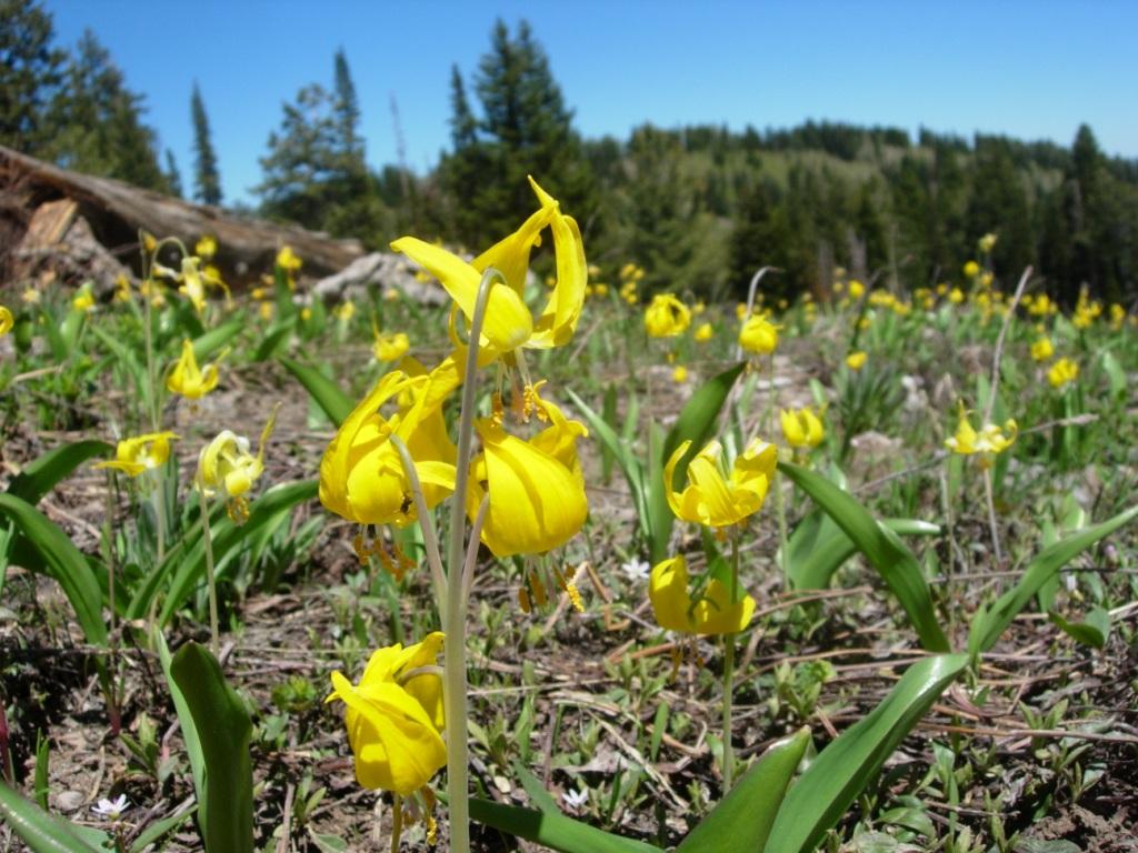 Glacier Lilies, Courtesy Andrea Liberatore, Photographer