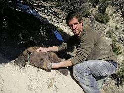 Patrick Myers has immobilized and extracted one of the bears from her den in early spring of 2016 to assess her health and the fit of her collar; this was in the Lake Canyon area, southwest of Duchesne. myers.patrick.den.check.250x188