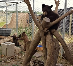 Orphaned Cub: Bear Cubs in an Enclosure One of the facility's natural climbing structures, and some of the conspecific interactions that took place in the pens. myers.patrick.rehab.bear.cubs.250x224