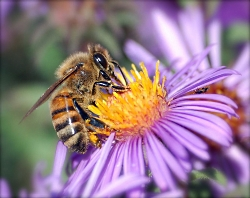 Honeybee Extracts Nectar Courtesy NASA ClimateKids