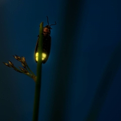 Flashing Firefly Courtesy & Copyright BJ Nicholls