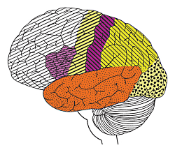 Questions: The Architecture of the Brain The brain can be divided into three basic units: the forebrain, the midbrain, and the hindbrain. Courtesy NIH, NINDS