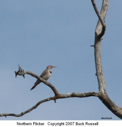 Flickers Tapping Love Codes on my Roof: Northern Flicker Courtesy & © 2007 Buck Russell