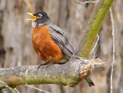 The Occupants on Robin Street: American Robin, Courtesy US NPS, Will Elder, Photographer