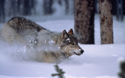 Yellowstone wolf running in snow in Crystal Creek pen; January 1996; Accession No. 15606 Courtesy US National Park Service